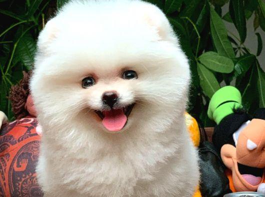 Gülen Surat Pomeranian Boo Oğlumux CARLOS