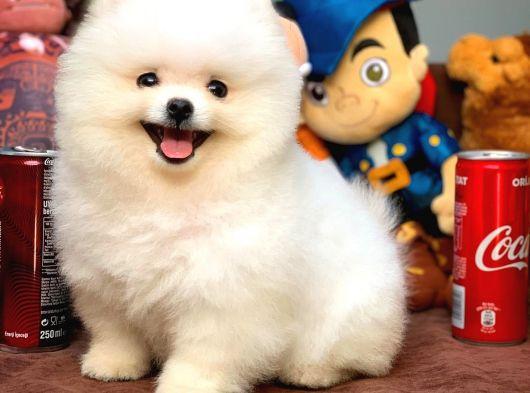 Teddy bear surat yapısına sahip Pomeranian yavrumuz