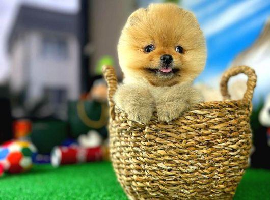 Muhteşem surat ve tüy yapısına sahip Pomeranian yavrumuz