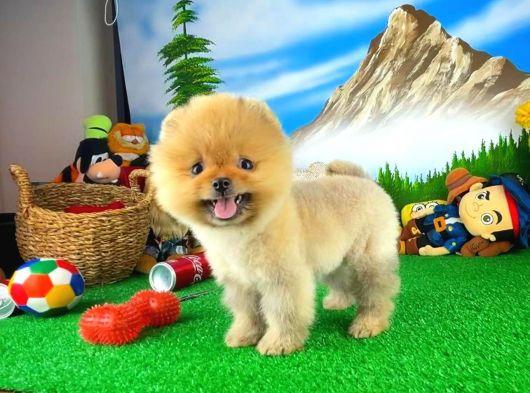 Ayı Surat Pomeranian Boo Oğlumuz OSCAR