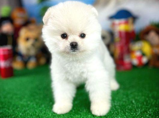 Gülen Surat Pomeranian Boo Yavrumuz ROLLO