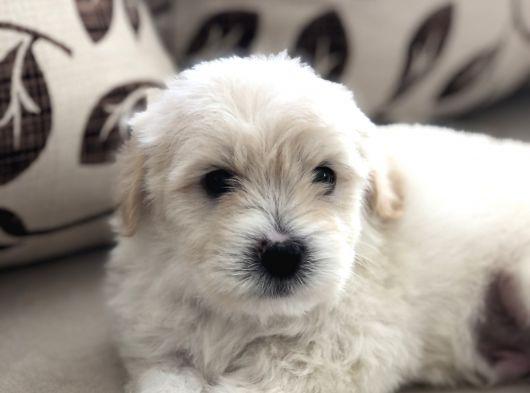 Tüy dökmeyen Maltese terrier