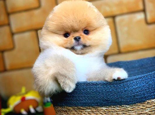 Tcup Pomeranian Boo Yavrumuz ALEX