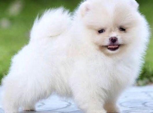 Pomeranian Boo Miniboy