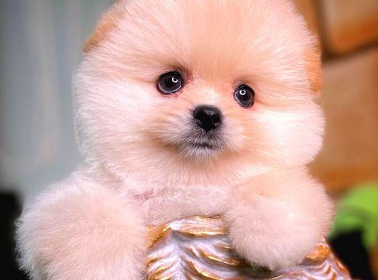 Teacup Teddy Bear Pomeranian Yavrularımız