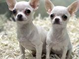 Mini boy beyaz chihuahua erkek yavrular