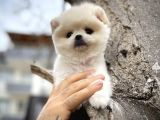 Teddybear Pomeranian boo