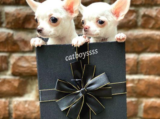 Sevimli mini chihuahua erkek yavrularımız