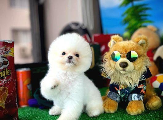 Sevimli Ve Sempatik Pomeranian Boo Kızımız YUMAK
