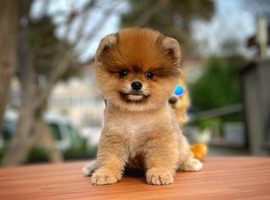 Orijinal Renk MiniBoy Pomeranian Boo Yavrularımızdan