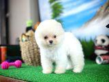 MiniBoy KarBeyazı PomeranianBoo Yavrularımızdan