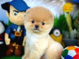 Orijinal Renk Pomeranian Boo Yavrularımızdan