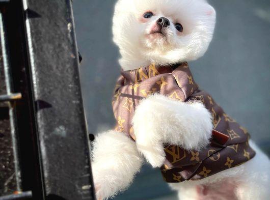 Safkan Pomeranian Boo oğlumuz UKİ / Yavrupatiler