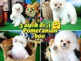 Karbeyaz Safkan Pomeranian Boo Kızımız PENNY / Yavrupatiler