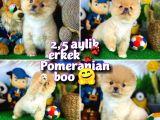 Ayı Surat Pomeranian Boo Boz Renkli Oğlumuz PAÇİ / Yavrupatiler