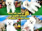 Safkan Orjinal Pomeranian Boo oğlumuz PİNOPY / Yavrupatiler