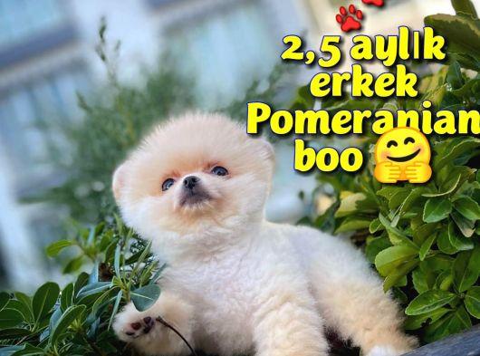 Ayı Surat Safkan Pomeranian Boo oğlumuz ŞİKO / Yavrupatiler