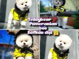 Teddybear Ayı Surat Pomeranian Boo Kızımız Rossy / Yavrupatiler