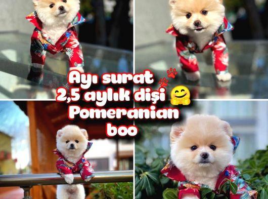 Ayı surat safkan Pomeranian Boo Kızımız YUMOŞ / Yavrupartiler