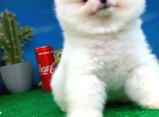 AA Kalite Safkan  Pomeranian Oğlumuz 'RAGNAR'