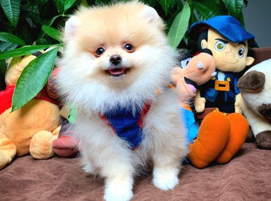 Sevimli Pomeranian Boo Oğlumuz BOBO