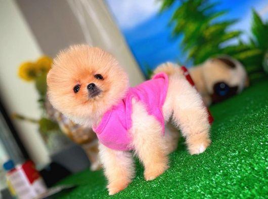 Gülen Surat Pomeranian Boo Kızımız NAGA