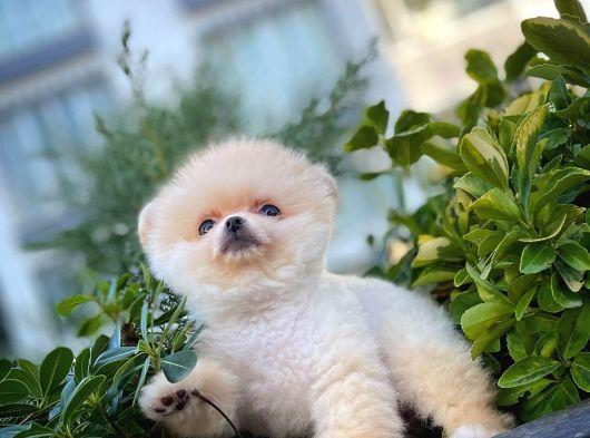 Sütlü Latte Pomeranian Boo yavrumuz
