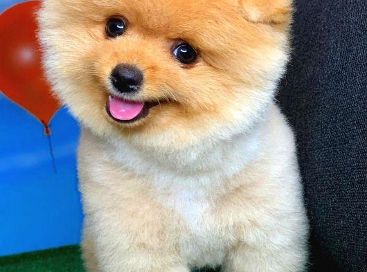 Mini Boy Pomeranian Boo Yavrularımız
