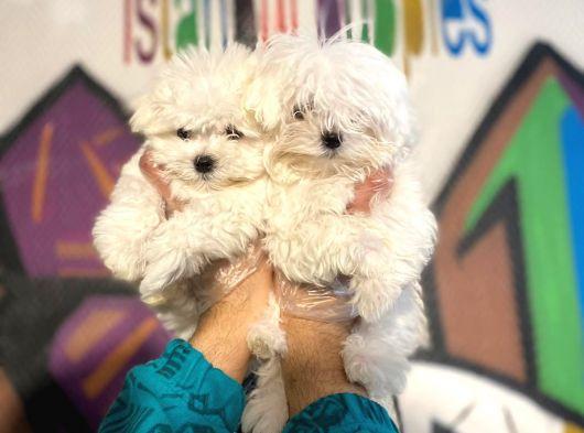 Teslime Hazır Irk Ve Sağlık Garantili korean maltese terrier yavruları