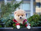 En Sevimli ve Havalı PomeranianBoo Kızımız  'Teddy'