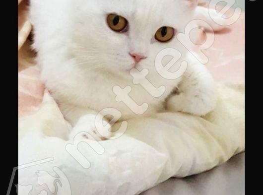 British shorthair kedimiz sahiplendirmek istiyoruz.