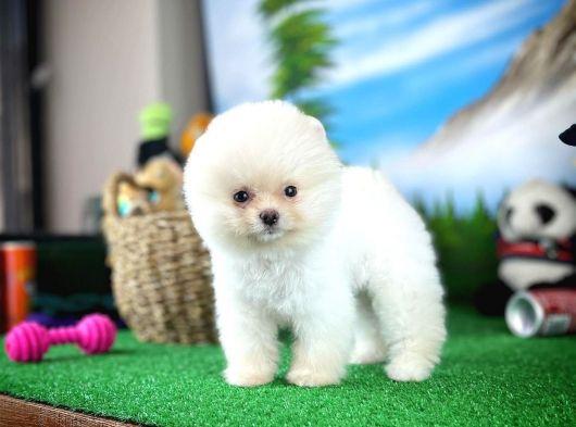 Irk ve Sağlık Garantili PomeranianBoo Yavrumuz