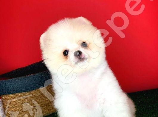 Tatlımı tatlı Pomeranian Boo yavrumuz