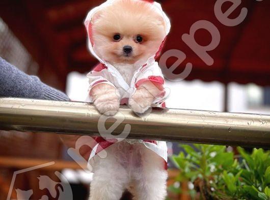 En Enn Güzelinden Pomeranian Boo yavrumuz
