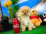 Artistik Pomeranian Boo yavrumuz
