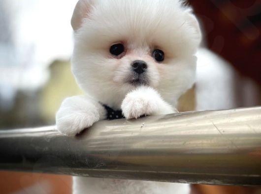 Masum Surat Pomeranian Boo yavrumuz