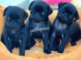 Black (siyah) pug mops yavrularımız @catboyssss da