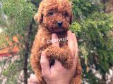 Toy poodle red brown erkek yavrular