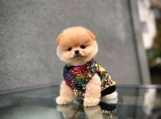 Aşırı Sempatik Pomeranian Boo Oğlumuz DUMAN