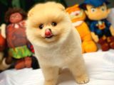 Birbirinden Sevimli Pomeranian Boo Yavrularımız