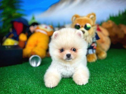 Tedy Face Pomeranian Boo Kızımız CARPİ