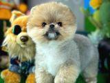 Sevimli ve Oyuncu PomeranianBoo Oğlumuz