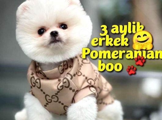 Safkan Pomeranian Boo oğlumuz COOPER / Yavrupatiler