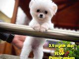 Küçük Beden TCUP Pomeranian Boo Kızımız Pinky / Yavrupatiler