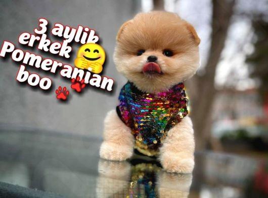 Ayı surat Pomeranian Boo Oğlumuz Ticky / Yavrupatiler