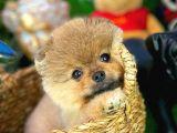 Sağlık ve ırk garantili Pomeranian Boo yavrumuz