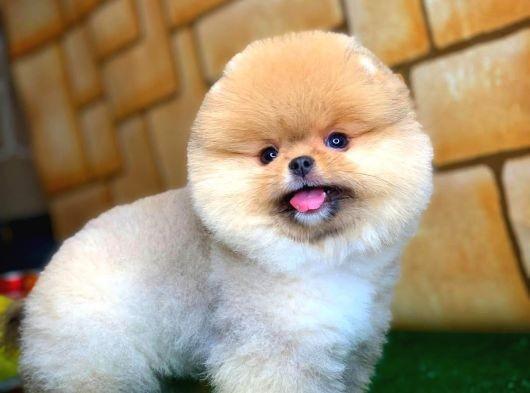 Mini Tcup Pomeranian