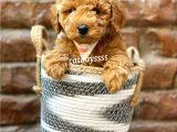 Irk ve sağlıklı garantili red brown toy poodle