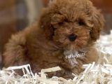 Sevimli red brown toy poodle erkek yavrumuz
