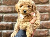 Tüy dökmeyen koku yapmayan red brown kızıl renk toy poodle